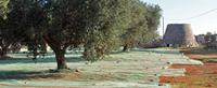 Olive groves are a popular sight on Puglia Walking Holidays with UTracks Travel