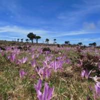 Crocuses on Camino   Andreas Holland