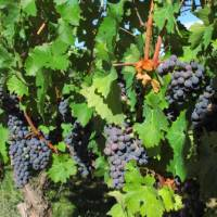 Grapes on vines in the Rioja wine region, Spain   Andreas Holland