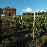 Vineyard in Istria