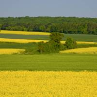 Fields of rape and wheat in the Champagne region | Michel Angot