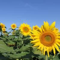 Sunflowers in Burgundy   Jaclyn Lofts