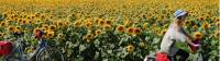 Cycling past a field of sunflowers in Hungary |  <i>Lilly Donkers</i>