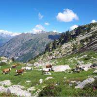 Cows grazing in the postcard perfect setting of the Gressoney Valley