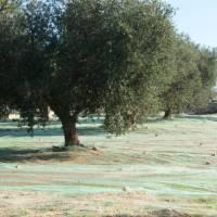Olive harvest | Ross Baker
