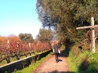 Walking through vineyards on the Camino in Portugal