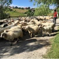Shepherd with his flock in Transylvania