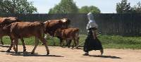 Russian cow herder causing traffic on the cycle trail | Phillip Williams