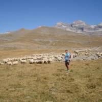 Walker passing sheep in cuello arenas in the Ordessa Valley