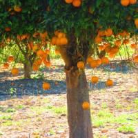 Orange trees at Kato Akourdhalia   John Millen