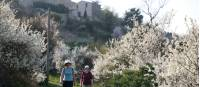 Descending  through blossom from Saignon