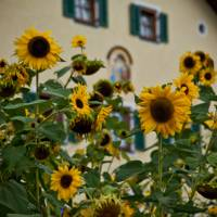 Sunflowers on King Ludwig's Way   Will Copestake
