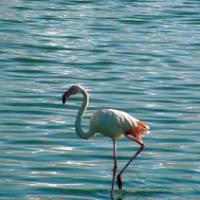 Flamingo, Sardinia