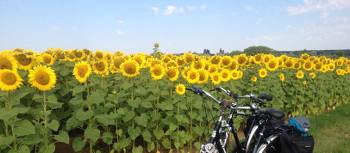 Loire Valley sunflowers near Blois | Mary-Cate Pickett