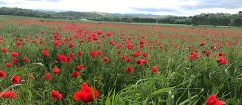 The abundance of red poppies in Italy makes you feel as if you're in a Van Gogh painting