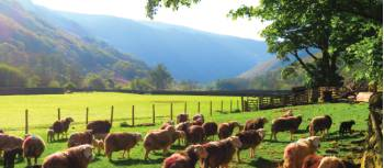 Sheep in Stonethwaite during spring | John Millen